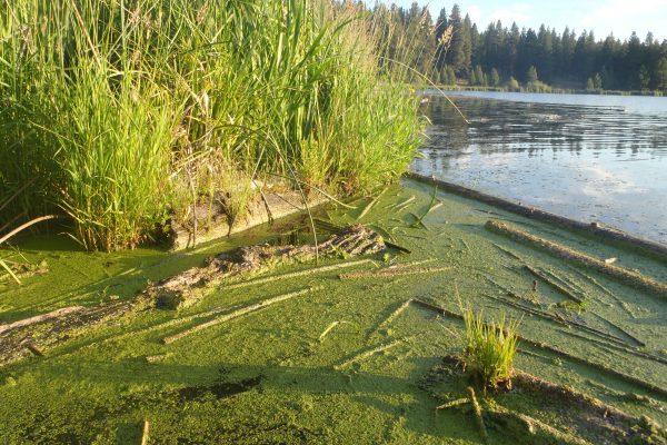 Algae behind Keno Dam